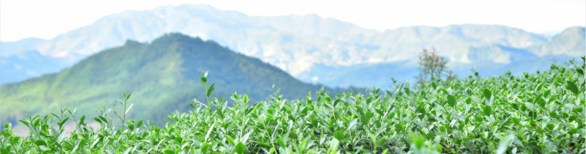 One City One Tea丨Anxi Tieh Kwan Yin
