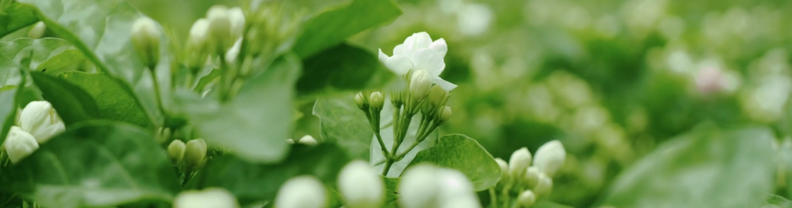 Behind the Scenes - TenFu's Crafting of  Jasmine Tea
