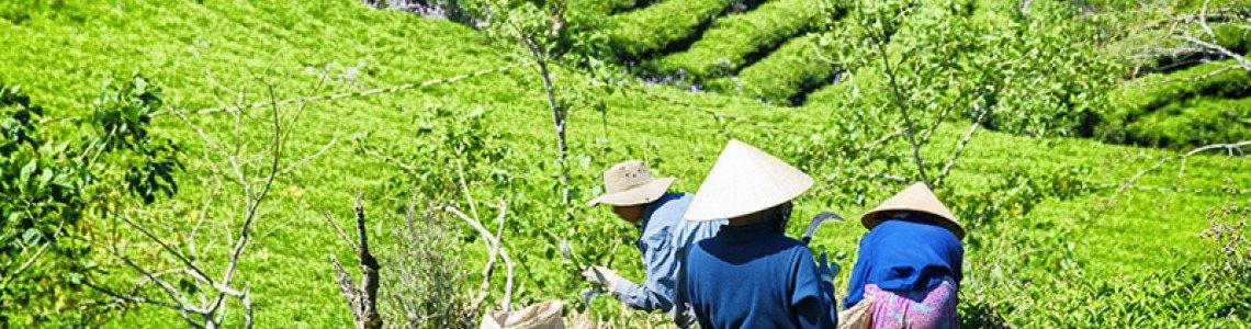 WHAT IS TAIWAN   OOLONG TEA ?
